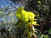 Shrub of Crotolaria agatiflora