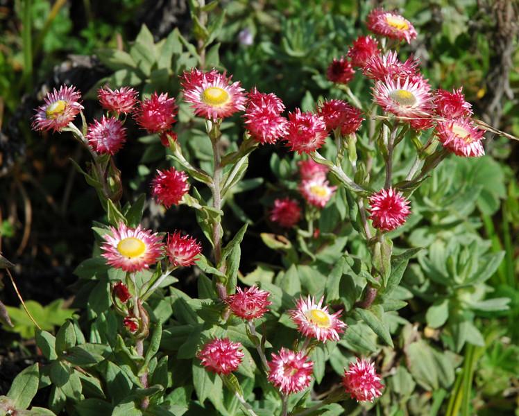 Helichrysum meyeri-johannis