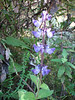 Plectranthus edulis