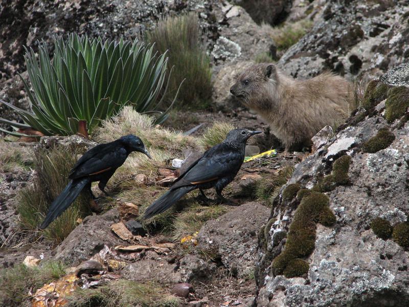 Onychognathus tenuirostris    (slender-billed starling)