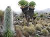 Lobelia telekii and Senecio keniodendron