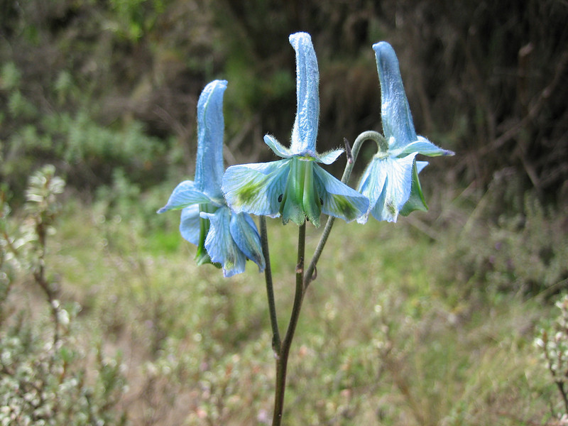 Delphinium macrocentron (Battiscombei valley)