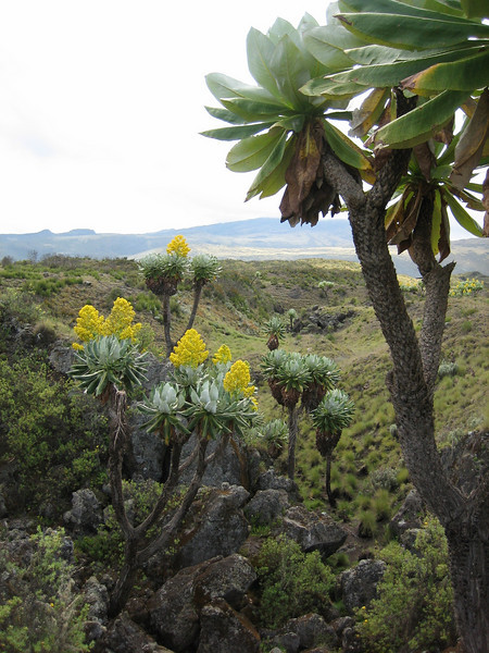 Senecio johnstonii ssp. battiscombei