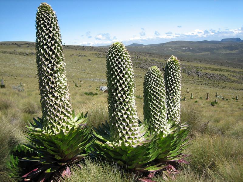 Lobelia deckenii ssp. keniensis (Mount Kenya region)
