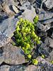 Sedum ruwenzoriense (Mount Kenya)