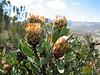 Protea kilimandscharica