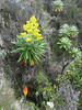 Senecio johnstonii ssp. battiscombei and Kniphofia thomsonii