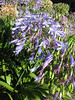Agapanthus africanus (Blue African Lily)