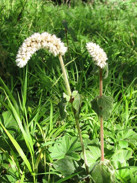Cyanthula spec. (C. cf. cylindrica)