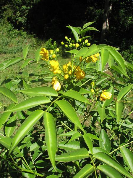 Senna septemtrionalis (syn. Cassia floribunda)