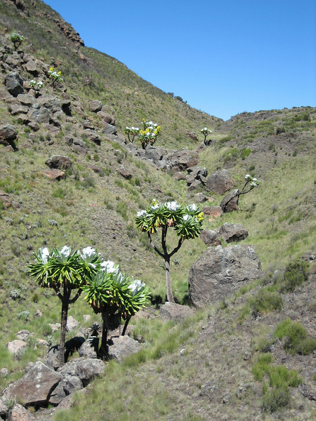 Battiscombei valley with Senecio johnstonii ssp. battiscombei