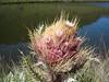 Carduus keniensis (endemic thistle Kenya)