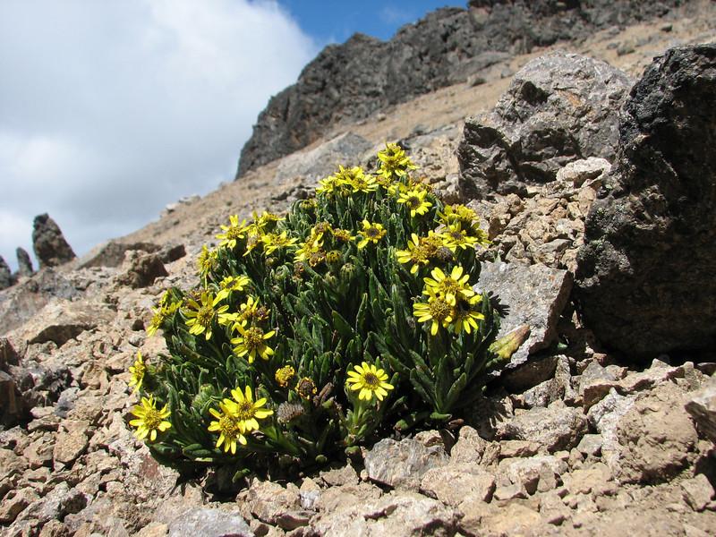 Senecio keniophytum (Mount Kenya)