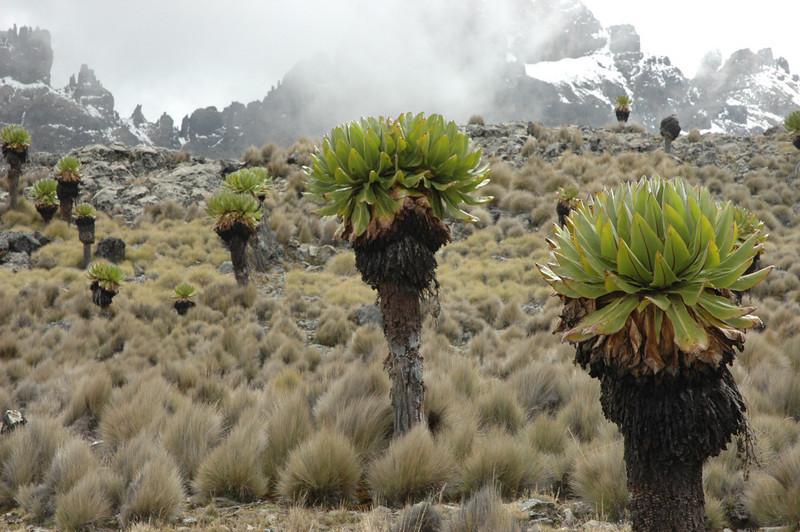 moorland with Senecio keniodendron (Mnt. Kenya N.P.)