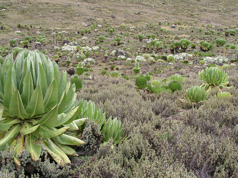 habitat in the Mount Kenya mountains