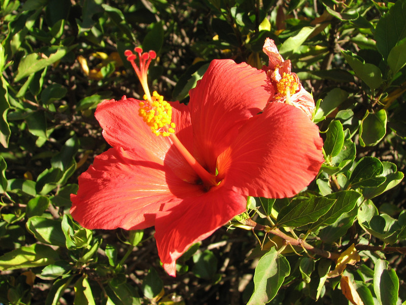 Hibiscus rosa-sinensis (non native)