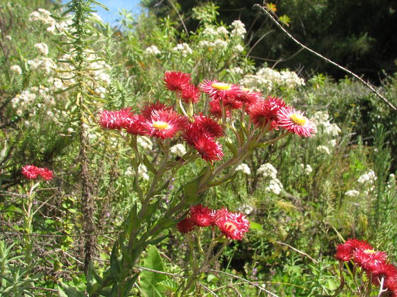 Helichrysum meyeri-johannis (red coloured form)