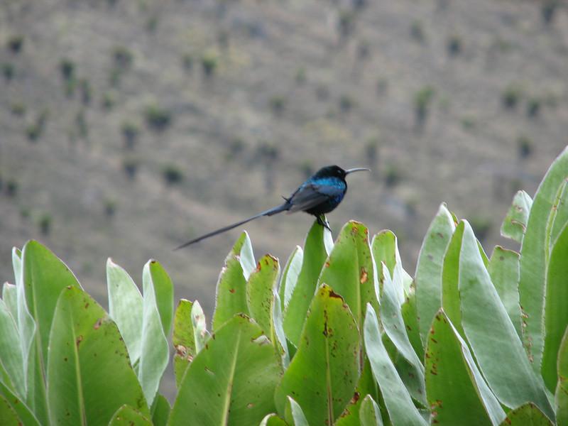 Nectarinia johnstoni (scarlet-tufted malachite sunbird)