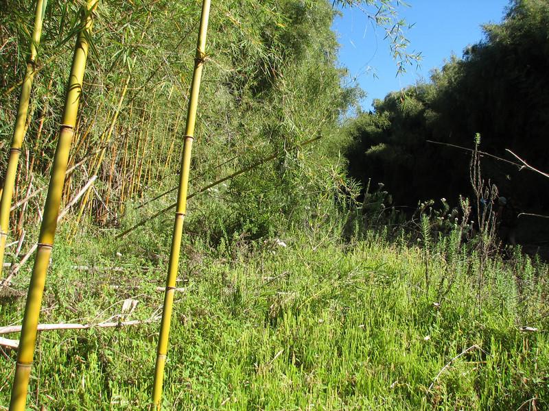 Bambusa vulgaris (golden bamboo native to Southeast Asia)