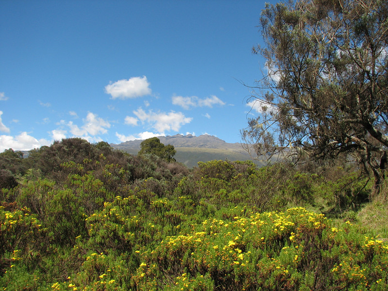Euryops brownei (Mount Kenya in the background)