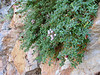 Putoria calabrica (Tetouan - Dar-Ben-Karriche-El-Bari - Zinat -3- Chefchaouen)