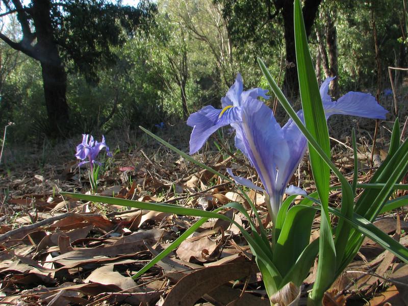 Iris planifolia