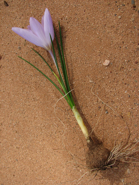 bulb of Crocus serotinus ssp. salzmannii, (for identification purposes only)