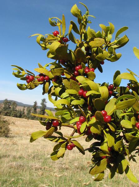 Viscum cruciatum (Mistletoe) on Crataegus spec.(Fes - Imouzzer-Kandar - Ifrane - Azrou -7-(foret de Cedrus)- Ain-Leuh - El-Hajeb - Boufakrane)