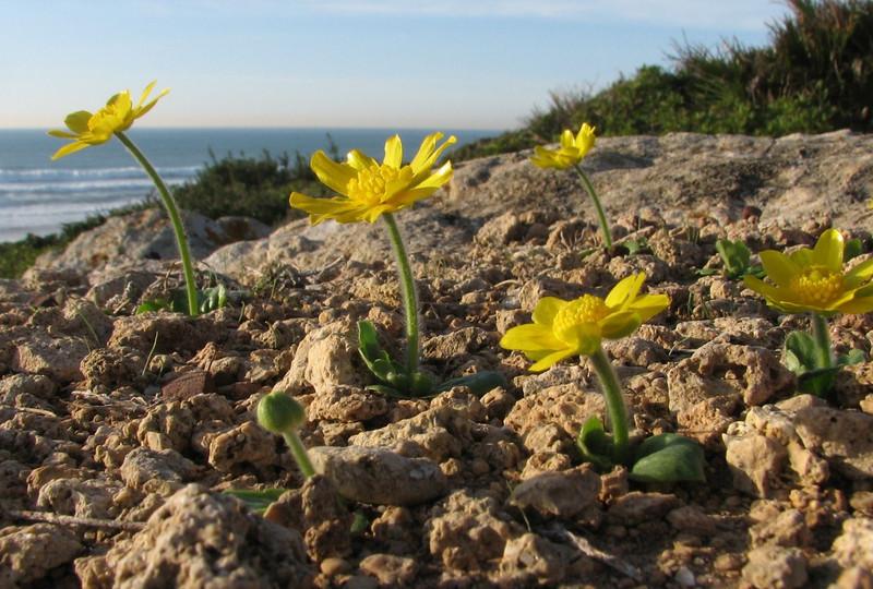 Ranunculus bullatus (Larache - Cap Spartel - 15 - Grottes d'Hercule)