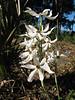 Narcissus elegans (Tetouan -1- Dar-Ben-Karriche-El-Bari - Zinat - Chefchaouen)
