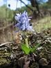 Hyacinthoides lingulata (syn. Scilla lingulata) (Chefchaouen -6- Quazzane - Ain-Defali - Douyet - Fes)