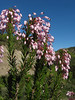 Erica multiflora (Chefchaouen - Talembote - Et-Tlera-de-Qued-Lau - Bou-Ahmed -4- Bab-berret - Bab-Taza - Chefchaouen)