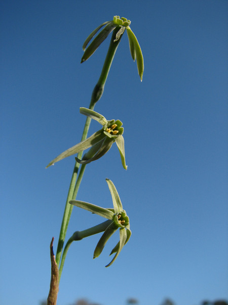 Narcissus viridiflorus