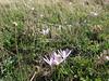 Crocus serotinus ssp. salzmannii (Fes - Imouzzer-Kandar - Ifrane - Azrou - Ain-Leuh - El-Hajeb - Boufakrane)