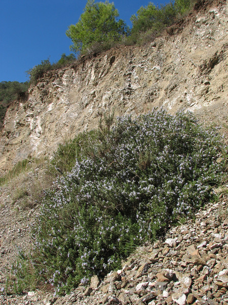 Rosmarinus officinalis, (Rosemary) (Chefchaouen - Talembote - Et-Tlera-de-Qued-Lau - Bou-Ahmed -4- Bab-berret - Bab-Taza - Chefchaouen)