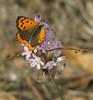 Lycaena phlaeas (NL:vuurvlindertje) on Scilla autumnalis ssp. fallax (photo KeesJan, Larache - Asilah -13- Grottes d'Hercule)