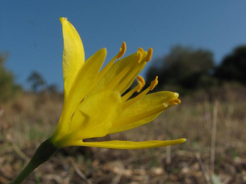 Narcissus humilis