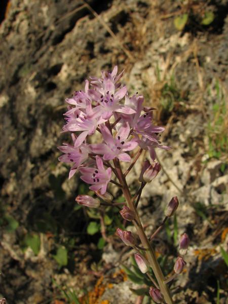 Scilla autumnalis ssp. fallax (Larache - Cap Spartel - 15 - Grottes d'Hercule)