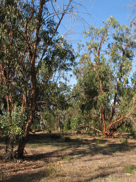 forest with Eucalyptus globulus