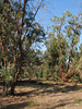 forest with Eucalyptus globulus