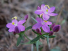 Centaurium spicatum (Chefchaouen - Quazzane - Ain-Defali - Douyet - Fes)