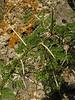 Acasia spec. (Larache - Cap Spartel - 15 - Grottes d'Hercule)