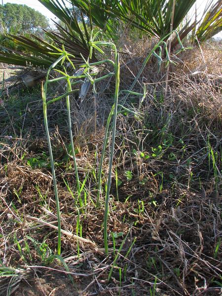 habitat of Narcissus viridiflorus (Grottes d'Hercule - 13 - Cap Spartel - Cotta - 13 - Airport - El Bori - El Mazla - Larache)