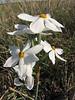 Narcissus elegans (Boufakrane - Meknes - Khemisset - Tiflet - Zemmour - Si-Allal-el-Bahraoui - Kenitra - Sale - Allal-Tazi - Souk-Telata-du-Rharb -10 - Ksar-el-Kebir - Larache)