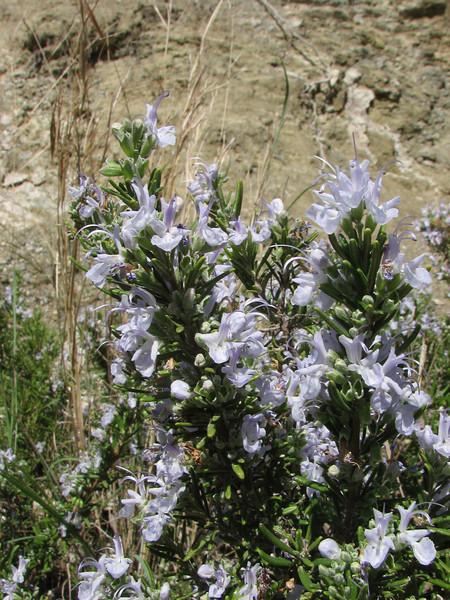 Rosmarinus officinalis, (Rosemary) (Chefchaouen - Talembote - Et-Tlera-de-Qued-Lau - Bou-Ahmed -4- Bab-berret - Bab-Taza - Chefchaouen)