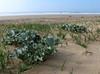 coastal habitat with Eryngium maritimum (See Holly)(NL:zeedistel)(Larache - Asilah - Grottes d'Hercule)