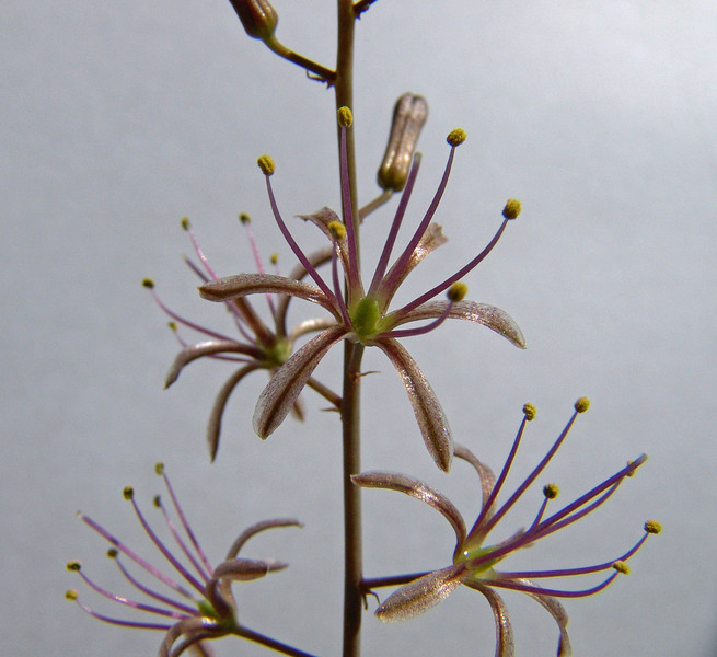 Drimia undata, (Goldblat) formerly Urginea undulata, close up flowers