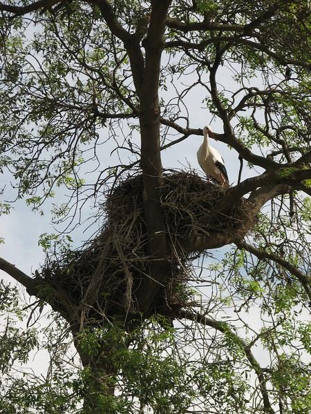 Ciconia ciconia, Storck (NL: Ooievaar)