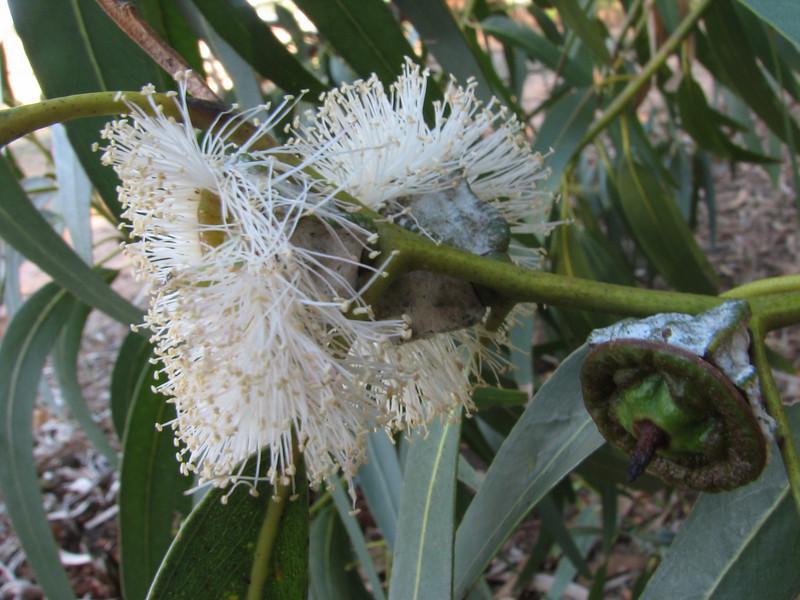 flowers and fruit of Eucalyptus globulus
