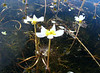 Ranunculus cf. trichophyllus (Fes - Imouzzer-Kandar - Ifrane - Azrou - Ain-Leuh - El-Hajeb - Boufakrane)